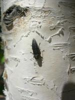 Bronze Birch Borer insect